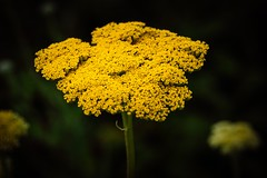 Love Cushion (Tom Levold (www.levold.de/photosphere)) Tags: fujixt2 xf80mm pflanze nature plant fuji natur blume flower blossom blüte gelb yellow bonn