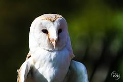 (rick_wolfgang) Tags: kreuzenstein schleiereule vogel