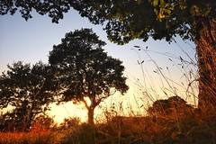 Low down in the grasses. (Darren Speak) Tags: goldenlight evening messychaotic chaos york autumn sunshine tree