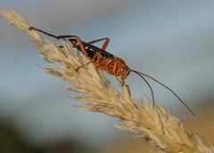 Grasshopper (m&em2009) Tags: grasshopper insect bug macro close up nikon d7000 60mm lens dof grass sky colours nature