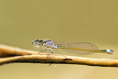 Dragonfly (Sebo23) Tags: dragonfly liebelle damsefly insekt insect nature naturaufnahme natur macro makro makrofotografie stacking canoneosr canon10028l