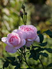 Nymans Rose Garden-G9211985 (tony.rummery) Tags: closeup em10 flower garden mft macro microfourthirds nationaltrust nymans omd olympus rose haywardsheath england unitedkingdom