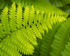 Bracken-fern, Hendre area, N/Wales, UK, 2019. (Phlips photos) Tags: wales naturesdetail panasonicg9 1260mmleicalens fern green handheld northwales 2019 hendre brackenfern