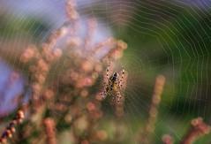 Nätmakaren (Katarina Holmstrom) Tags: spindel spindelnät korsspindel