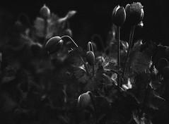 Mohn (Christian Güttner) Tags: analog analogue rollfilm rollei rolleiretro400s svartvitt schwarzweis schwarzweisfotografie sw natur nature natura blackandwhite bw bokeh bokhe blumen ecodeveloper etrsi zenzabronica umwelt outdoor film licht czarnobiale monochrome mediumformat mittelformat