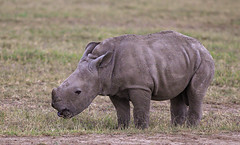 World Rhino Day - 22 September 2019 (AnyMotion) Tags: worldrhinoday whiterhinoceros squarelippedrhinoceros rhino breitmaulnashorn ceratotheriumsimum calf baby kind animal animals tiere nature natur wildlife 2011 olpejetaconservancy sweetwatersgamereserve kenya kenia africa afrika anymotion reisen travel 5d2 canoneos5dmarkii ngc npc américadosul