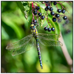 Berry loving Hawker. (steve.gombocz) Tags: insect nikon nikond850 nikoneurope nikoncamera nikonfx nikon500mmf4 nikkor outdoor outandabout nature wildlife wildlifereserve naturereserve wildlifephotos naturephotos wildlifephotography naturephotography wildlifephotograph wildlifepictures naturepictures bbcspringwatch tier animale ngc flickrwildlife flickrnature dragonfly hawker migranthawker naturewildlife colour colours color