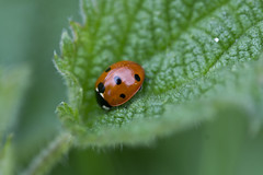 Nestled Ladybird (steve_whitmarsh) Tags: kintore scotland macro closeup nature wildlife animal insect ladybird red green topic