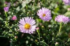 Nymans Gardens-F9210350 (tony.rummery) Tags: closeup em5mkii flower garden mft macro microfourthirds nationaltrust nymans omd olympus pinkflower haywardsheath england unitedkingdom