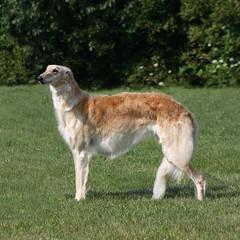 Charlie (Muzik Hounds) Tags: borzoi photoshop russian wolfhound show dog pet hound sighthound gold stacked canine