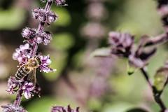 Rotes Basilikum, ein Küchen- und Bienenkraut 012_Web-compressed (berni.radke) Tags: rotesbasilikum basilikum strauchbasilikum küchenkraut bienenkraut biene bee basilie basilienkraut königskraut gewürzpflanze lippenblütler basilic basil bazylia basilicum pszczoła honingbij abeille herbst autumn