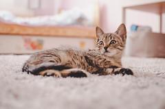 e-lias-ICC_8325 (e-lias hun) Tags: cat pussycat kitten kats mycat littlecat nikon 3518g d7000 elias hungary animal