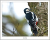 Woodpecker, Loch Of The Lowes, Dunkeld