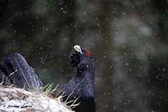 The King!.. (silvano fabris) Tags: canonphotography wildlifephotography birds uccelli animali animals faunaselvatica tetraonidi capercaillie gallocedrone