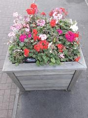 20190921_175721 (Ian Razey) Tags: gillettecorner syonhill middlesex greaterlondon england flowers planter brentford