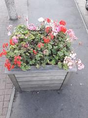 20190921_175803 (Ian Razey) Tags: gillettecorner syonhill middlesex greaterlondon england flowers planter brentford