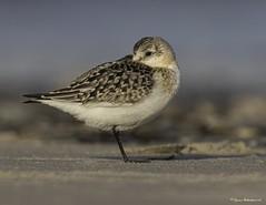 2I1A0012a (lfalterbauer) Tags: sanderling canon ornithology avian camera dslr digital nature wildlife