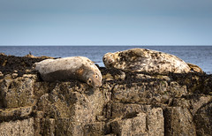 Lazing about Grey Atlantic Seals (chrisellis211) Tags: northumberland wildlife wildlifephotography england coast sea sealife adventure grey atlantic seal mammal