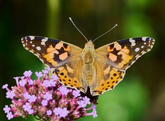 Painted Lady  Butterfly (Geoff Fagan) Tags: butterfly butterflymacro paintedlady paintedladybutterfly insect insects insecto invasion nature natural allnatural naturephotography macro macrodreams macrophotography close closeup near garden handheld sony sonyalpha sonya7rm2 sonya7rii ilce7rm2 captureone 90mm summer