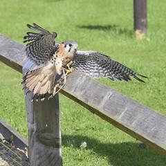American Kestrel (martin_john_evans) Tags: bird americankestrel