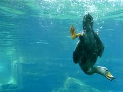 Magellan Dampfschiffente (BrigitteE1) Tags: zam dampfschiffente steamerduck blue yellow dive action special divingduck duck specanimal