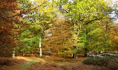 New Forest NP, Hampshire, England (east med wanderer) Tags: england hampshire newforestnationalpark forest trees autumn beech oak bracken
