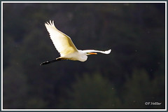 Grande aigrette vol 190922-01-P (paul.vetter) Tags: oiseau ornithologie ornithology faune animal bird échassier grandeaigrette aigrette ardeaalba greategret silberreiher casmerodiusalbus garçabrancagrande