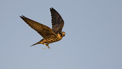 Red Shifted Hobby collects his late evening snack! (Ann and Chris) Tags: hobby dragonfly falcon hunting close red shifted sunset eye looking incoming impressive raptor wild lakenheath lakenheathfen