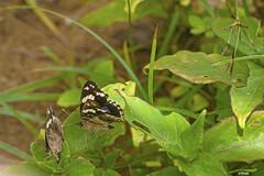 DUE FARFALLE   ---   MACRO (cune1) Tags: animali animals fiori flowers farfalle butterfly natura nature africa grandbassamlagunes