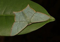 Geometrid Moth (Maxates sp., Geometrinae, Geometridae) (John Horstman (itchydogimages, SINOBUG)) Tags: insect macro china yunnan itchydogimages sinobug entomology moth lepidoptera canon green geometrinae geometridae fbipm