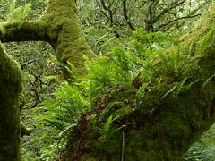 A Walk in the Wood (Marit Buelens) Tags: green britain eu uk wales cymru tree boom stam boomstam varen trunk fern plant moss branch forest wood bos overgrown wild maentwrog llyntrawsfynydd