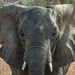 African Elephant · Zambia