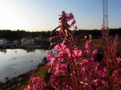 willowherb (helena.e) Tags: helenae älsa husbil rv motorhome semester holiday vacation norrland haparandahamn ställplats water vatten rallarros willowherb rosa pink flower blomma