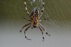 DSC_0876 (jancorjacobs) Tags: spider spin spinne nederland netherlands garden autumn herfst herbst fall automne araignée europe garten tuin