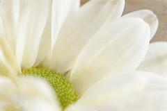 265/365 Chrysanthemum Macro (belincs) Tags: september 2019 uk lincolnshire stilllife indoors macro 2lilowlstextures flash flower chrysanthemum 365 oneaday 365the2019edition 3652019 day265365 22sep19