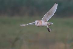 Barn Owl (neil smith2010) Tags: barn owl eveneing dusk voles flight wildlife tyto alba frampton marsh