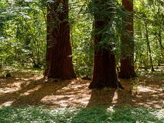 Nymans Woodlands-G9212016 (tony.rummery) Tags: em10 mft microfourthirds nationaltrust nymans omd olympus shadows trees woods haywardsheath england unitedkingdom