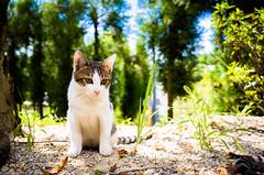 memories of the sanctuary #1 (Kyoto) (Marser) Tags: gr grd ricoh raw lightroom japan kyoto cat kitten cute 京都 猫 貓