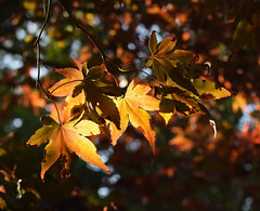 Contrasting colours #3 (MJ Harbey) Tags: goldenleaves leaves tree parcbotaniquedecornouaille france brittany nikon d3300 nikond3300 nature contrastingcolours light acer japanesemaple