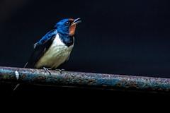 Alarm Call (Wim van de Meerendonk, loving nature) Tags: birds bird blue animal pieterpad nature netherlands nederland thenetherlands telelens color contrast light sony wimvandem wildlife golddragon abigfave naturethroughthelens ngc