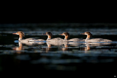 ''La famillia!'' grand harle-Common merganser (pascaleforest) Tags: canada quebec kayak faune wildlife wild nature nikon passion canard duck bird oiseau