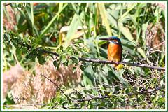 Martin-pêcheur 190922-01-P (paul.vetter) Tags: oiseau ornithologie ornithology faune animal bird martinpêcheur alcedoatthis eisvogel kingfisher