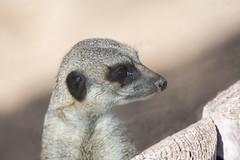 Meerkat at Woodside Wildlife Park (Paul Andrew Rigby) Tags: lincolnshire zoo woodsidewildlifepark places meerkat