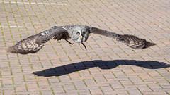 Great Grey Owl-F9210476 (tony.rummery) Tags: bird em5mkii flight greatgreyowl mft microfourthirds omd olympus strixnebulosa burgesshill england unitedkingdom
