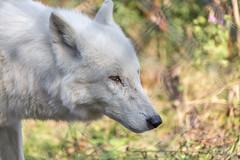 Wolf at Woodside Wildlife Park (Paul Andrew Rigby) Tags: woodsidewildlifepark places lincolnshire zoo