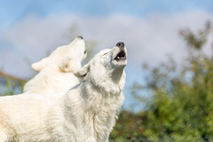 Wolves at Woodside Wildlife Park (Paul Andrew Rigby) Tags: woodsidewildlifepark places lincolnshire zoo