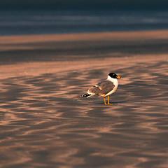 singull (Rajiv Lather) Tags: seagull beach sand light sunset outside nature wildlife water sea shore india indian birds avifauna aves avian birding birder texture pattern