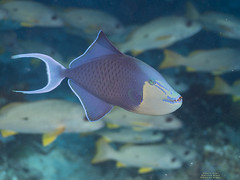 Dracula? (Denis Fiel) Tags: baliste bleu odonus niger blue triggerfish redtooth dents rouges poisson fish raja ampat indonésie indonesia