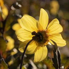 Sunny side of Autumn (FocusPocus Photography) Tags: dahlie dahlia blume flower blüte gelb yellow dahlienschau dahliaexhibition killesberg stuttgart