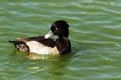 Tufted Duck (drbut) Tags: tuftedduck aythyafuligula avian water lakes pools divingduck wildlife nature